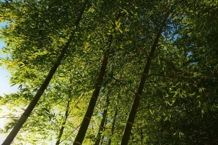 Bamboo forest in Tokyo. Japan Japanese Style Tokyo Backgrounds Bamboo - Plant Bamboo Grove Beauty In Nature Day Forest Green Color Growth Land Low Angle View Nature No People Outdoors Plant Rainforest Scenics - Nature Tranquility Tree Tree Canopy  Tree Trunk Trunk WoodLand