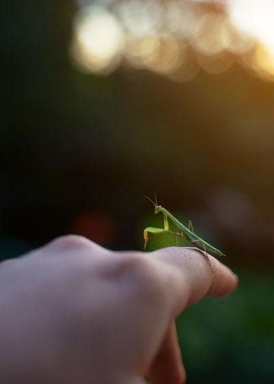 Praying mantis sitting on a hand at sunset