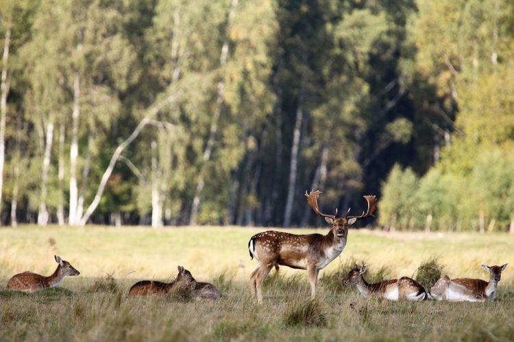 The top male in a flock of deer at kalvebod faelled, copenhagen.