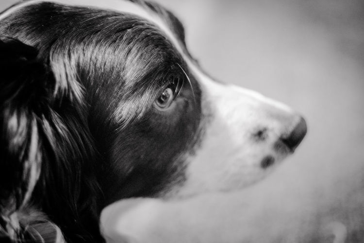A border collie in black and white Border Collie Profile Animal Head  Animal Themes Black And White Close-up Day Dog Domestic Animals Indoors  Mammal No People One Animal Pets