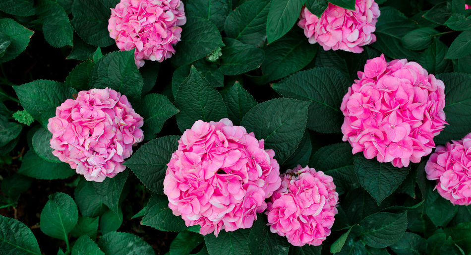 Beauty In Nature Close-up Day Flower Flower Head Flowering Plant Freshness Green Color Growth Leaf Nature Pink Color Plant Plant Part
