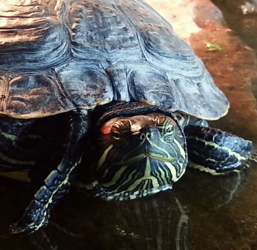 Nature On Your Doorstep red eared slider basking in the sun in a pond near my home