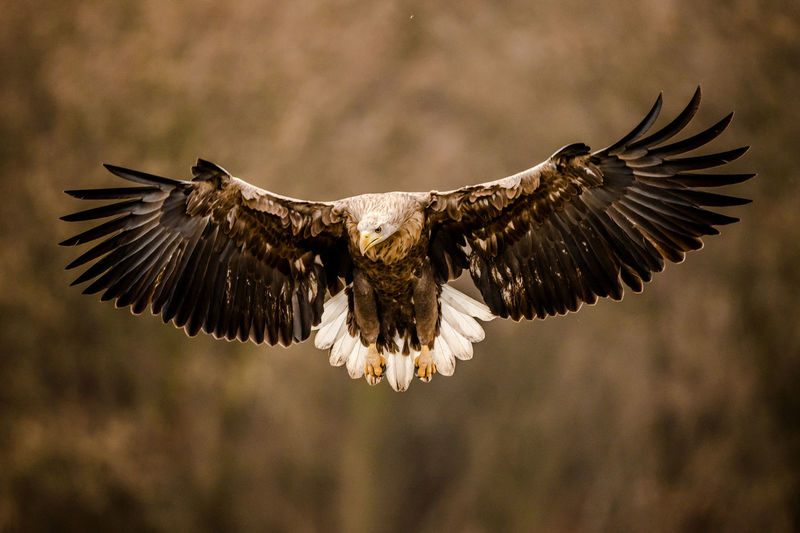 White tailed eagle Flying Spread Wings Bird Animal Animal Themes Animals In The Wild Vertebrate Animal Wildlife Bird Of Prey Nature Focus On Foreground Motion Outdoors Beauty In Nature Zoology Eagle Eagle