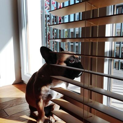 Charlie Frenchie Frenchbulldog Love Dog Animal Sun