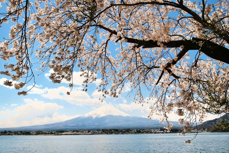 Cherry Blossom Sakura Japannature Springtime Japan Mt.Fuji Water Mountain Snow Lake Sky Landscape Snowcapped Mountain Volcanic Landscape Mountain Range Rocky Mountains Volcano Volcanic Activity
