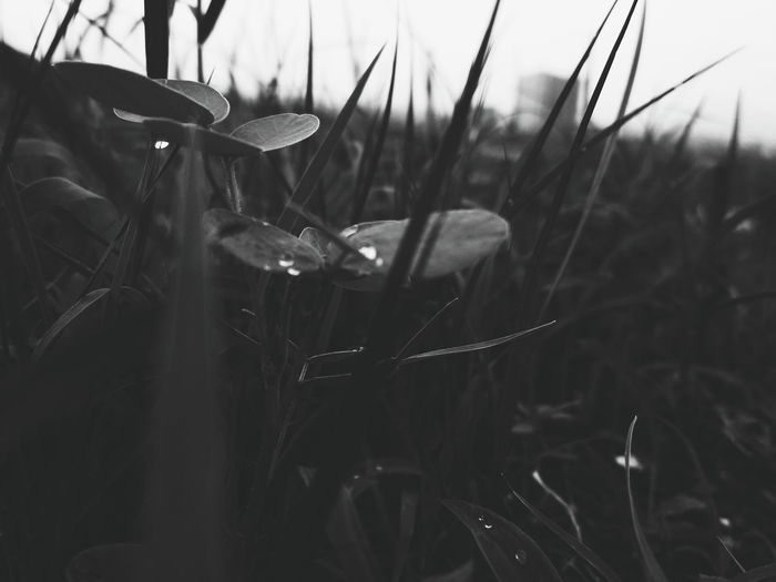 bnw EyeEm Nature Lover EyeEm Best Shots EyeEmNewHere EyeEm Selects Grass Awesome_shots EyeEm Gallery Awesome Close-up Monsoon Rainfall Wet Under Droplet Blade Of Grass Weather Torrential Rain Growing Cultivated Land