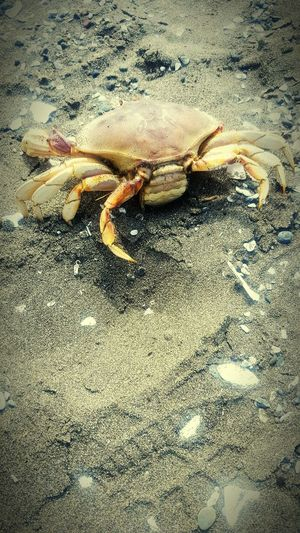 Dead crab at the Northcoastin California. Crab Dead Oceancreatures Sand Oceanlife Beachlife Showcase July