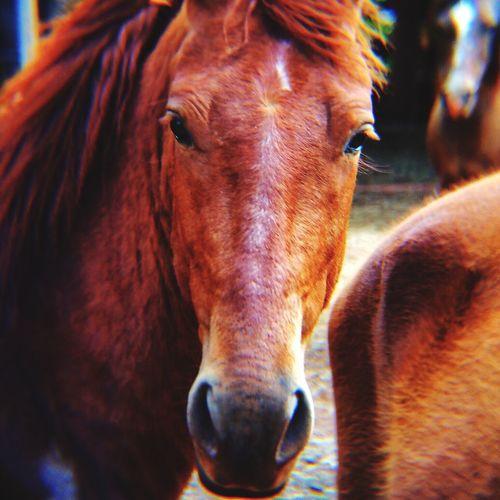 Close-up portrait of brown horses