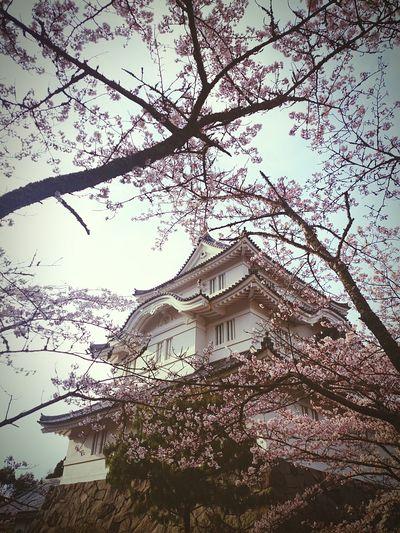 Enjoying Life お出掛け Sakura Trees Japanese  Sakura2016 Japanese Culture