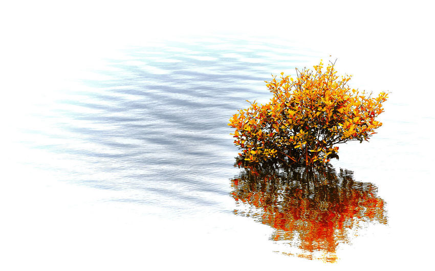 Small autumn color tree leaves a float above and it's reflection on water. High Key Photography River Tree River Tree In Orange Autumn Beauty In Nature Double Image Floating On Water Growth Nature No People Orange Color Orange Leaves Outdoors Plant Reflection Small Tree Split Image Tree Water