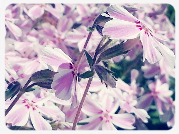 Little striped flowers facing the sunlight. KimberlyJTilley The Great Outdoors - 2015 EyeEm Awards