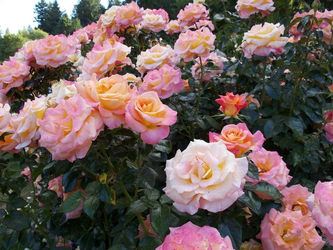Abundance Beauty In Nature Blooming Blossom Bunch Of Flowers Day Flower Flower Head Fragility Freshness Growth High Angle View In Bloom Leaf Multi Colored Nature No People Petal Plant R.tullis Rose - Flower