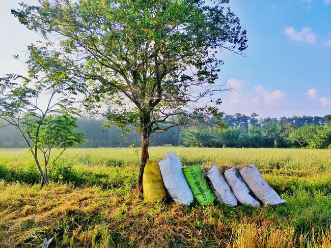 posthavest in Asian, farmer collect straw for cow Rice Rice Field Posthavest Morning Tree Grass Nature Growth Field No People Sky Outdoors Day Beauty In Nature Landscape Freshness Scenics Rural Scene