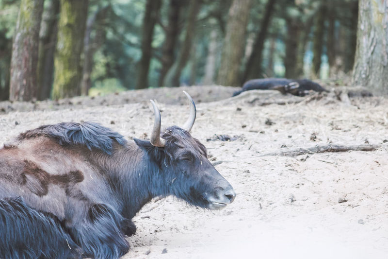 Content yak Animal Animal Body Part Animal Head  Animal Themes Beekse Bergen Close-up Con Day Eyes Closed  Focus On Foreground Forest Happy Herbivorous Horned Landscape Mammal Nature No People Outdoors Resting Tree Tree Trunk Wildlife Ya Zoology