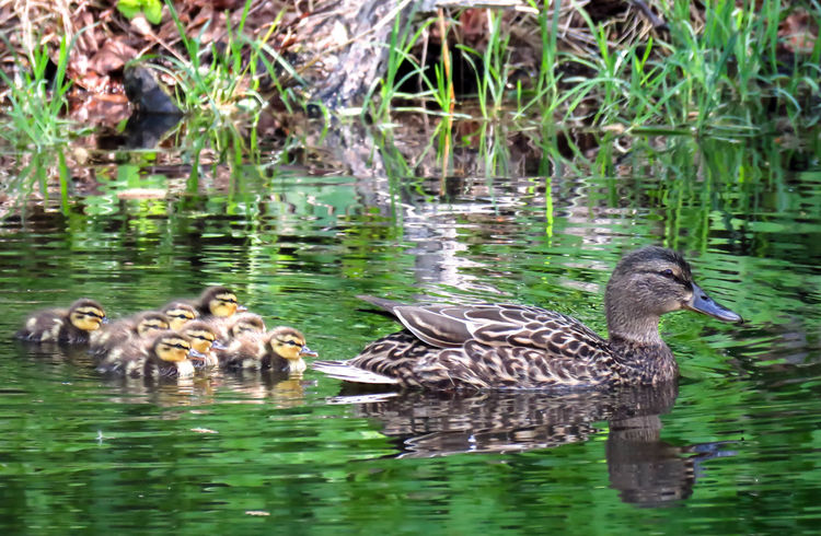 Baby Ducks Beauty In Nature Cute Duck Family Green Lake Nature Outdoors Reflection Spring 2016 The Great Outdoors - 2016 EyeEm Awards Water Water Bird Wildlife