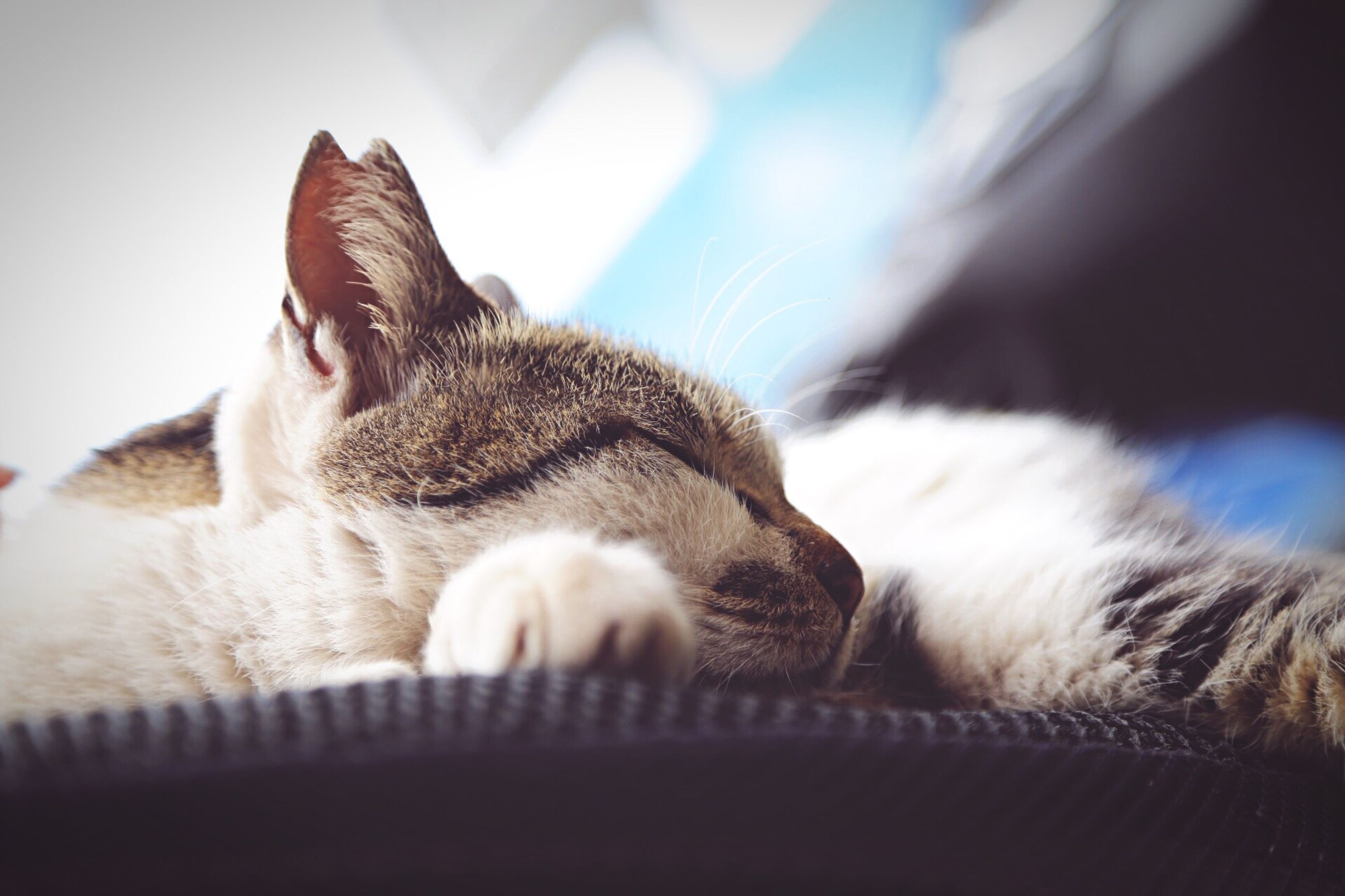 domestic cat, pets, one animal, animal themes, domestic animals, cat, mammal, feline, relaxation, indoors, whisker, resting, lying down, close-up, home interior, animal head, focus on foreground, selective focus, relaxing, looking away