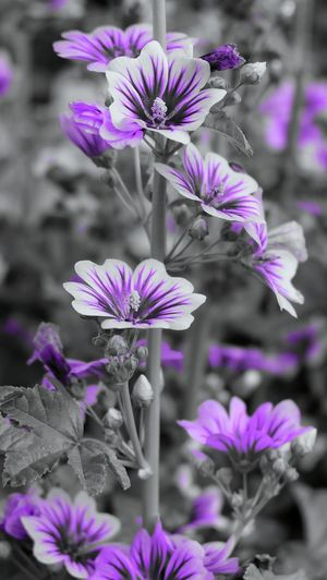 Colorfuless. Fujixa1 Flower Selective Color Photography Blurred Background Focus On Subject Purple Plant Life In Bloom Blooming