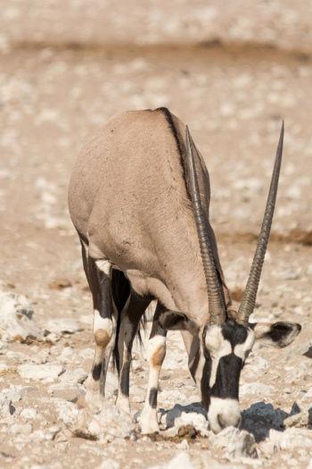 Oryx (Gemsbuck) in etosha national park, namibia Africa African Animal Antelope Antelopes Beauty Beauty In Nature Desert Etosha Etosha National Park Gemsbok Grassland Horns Mammal Mammals Namibia Namibian Oryx Oryx Gazella Savannah Southern Southern Africa Waterhole Wild Animal Wildlife