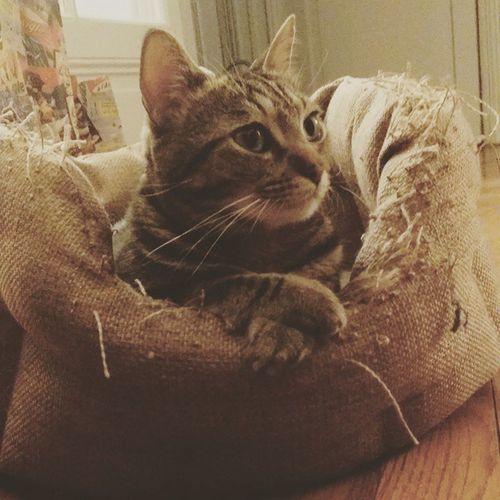 Pendant ce temps là, Monsieur suit la discussion... Gabin Cat Instacat Dailycat catstagram