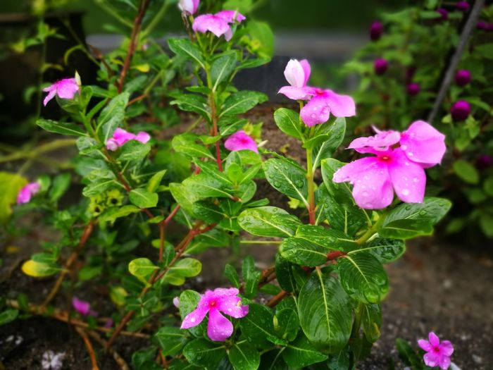 Pink Color Flower Plant Fragility Leaf No People Petal Nature Green Color Summer Purple Beauty In Nature Multi Colored Outdoors Day Growth Flower Head Botanical Garden Beauty Muslimtravellers Freshness Chemor