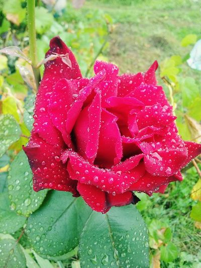 Roses are red... 🌷❤ Roses Redrose  Roses Are Red, Violets Are Blue Nature_collection Raining Day Nature Flowers Red Rose