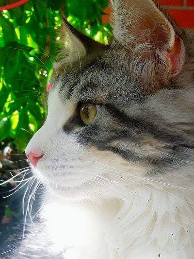 Smokey Stoppen The Time Loveit City Bergedorf Hamburg Katze Urlaub Hollidays Love To Hot Mainecoon Cat Garden Athome  Cool Hollyday Nature My Place Summertime Summer Relax Pets Close-up Big Cat Yellow Eyes Animal Eye Domestic Cat Whisker Tiger Tabby Kitten