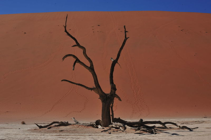 Close-up of dead tree on desert against clear sky