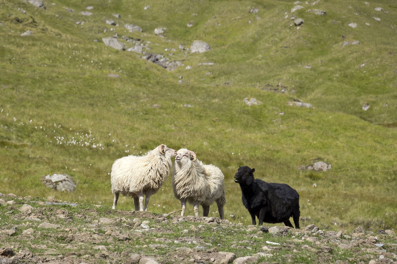 The poor black sheep. Faroer Islands Animal Themes Animal Wildlife Animals In The Wild Day Domestic Animals Field Färöer Grass Grazing Hill Landscape Livestock Mammal Mountain Nature No People Outdoors Scandinavian Sheep Sheeps Sheep🐑 Traditional