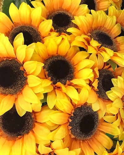 A buncha beautiful sunflowers ;) Flower Petal Fragility Yellow Beauty In Nature Freshness Flower Head Sunflower Nature pPollenGrowth Plant Blooming No People Close-up Day Springtime Backgrounds Outdoors Black-eyed Susan