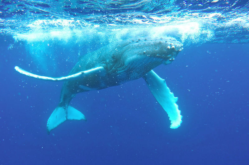 Humpback whale swimming in sea