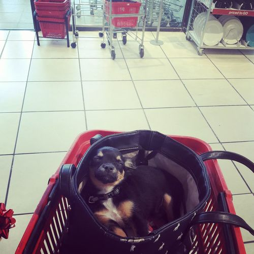 The way Cookie Jar does shopping 😴😒 Cookie Sleeping Sleepingwhileshopping Chihuahua Black Puppy Chihuahuasofeyeem Like4like Sillypuppy NiceShot Summer Holidays Love