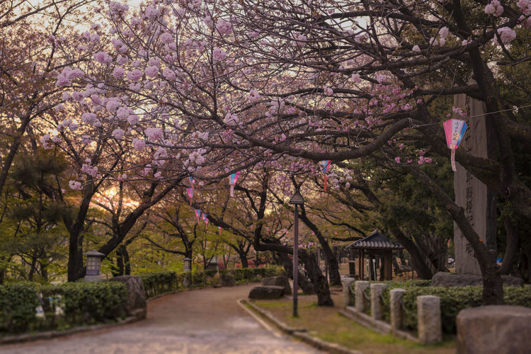 Cherry blossoms on road amidst trees