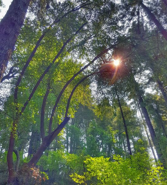 Tree Low Angle View Growth Forest Sun Tranquil Scene Sunlight Scenics Tranquility Branch Tree Trunk Nature Beauty In Nature Green Color Sunbeam WoodLand Non-urban Scene Day Tall - High Green Redwoods