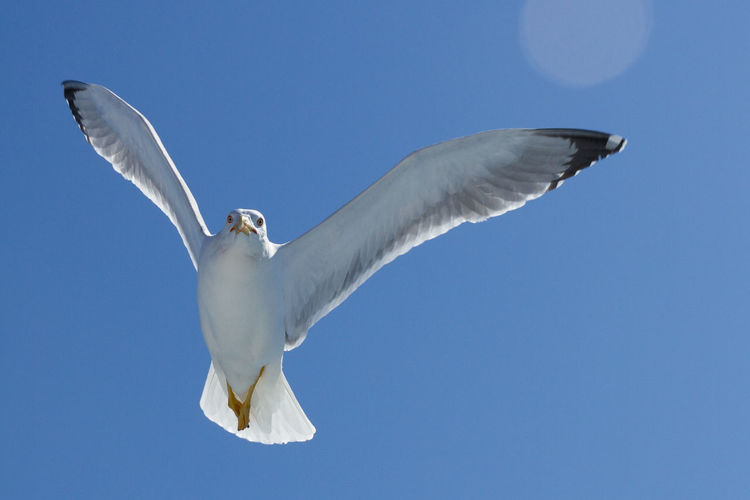 Low Angle View Of Seagull Flying Over Blue Sky