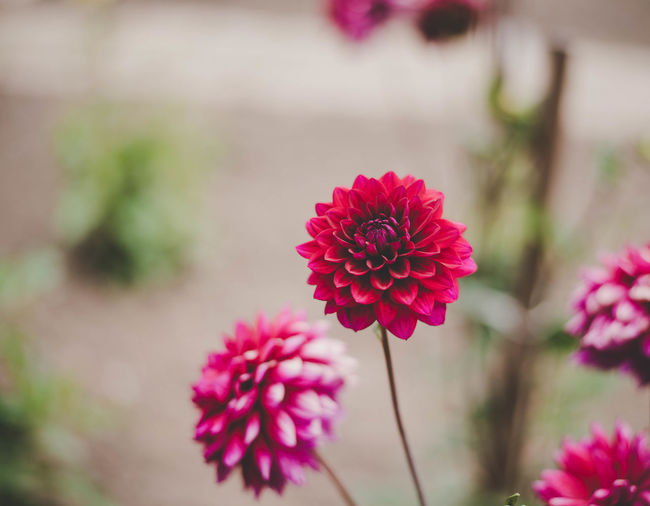 Pink dahlia flower Dahlia Beauty In Nature Blooming Close-up Dahlia Flower Day Flower Flower Head Focus On Foreground Fragility Freshness Growth Nature No People Outdoors Petal Pink Color Plant