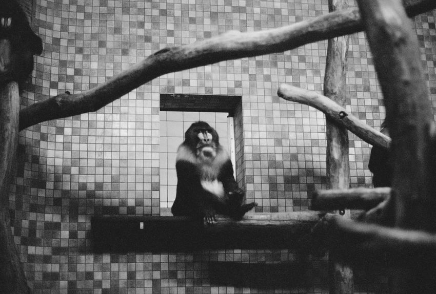 The boss Animal Themes Animal Wildlife Animals In Captivity Animals In The Wild Baboon Baboon Portrait Cage Day Indoors  Mammal Monkey No People One Animal Primate Primates Zoo Zoo Zoo Berlin Zoo Photography
