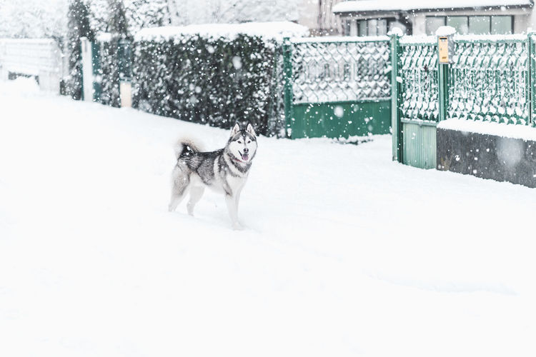 Husky Snow One Animal Winter Animal Themes Mammal Domestic Cold Temperature Pets Canine Domestic Animals Animal Dog Snowing Day Nature No People Storm Motion Blizzard Outdoors Extreme Weather Purebred Dog