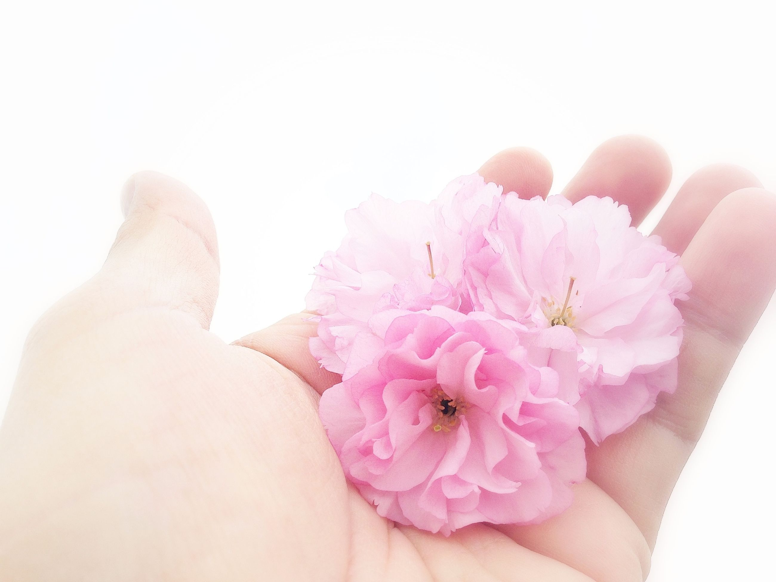 person, flower, part of, petal, holding, fragility, human finger, flower head, personal perspective, lifestyles, unrecognizable person, freshness, cropped, close-up, pink color, leisure activity