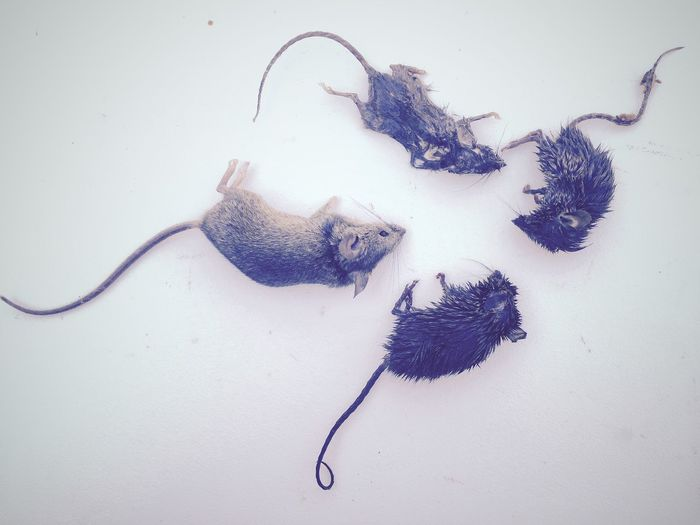 Mice Four Dead IPhoneography IPhone Kitchenwars Rodent Shrew I am in battle with small creatures