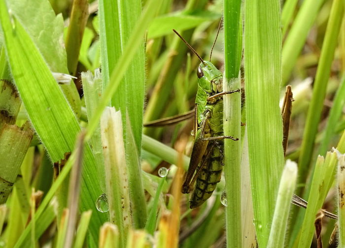 Grass Green Animal Themes Camouflage Close-up Grasshopper Green Color Insect Meadow Meadow Grasshopper
