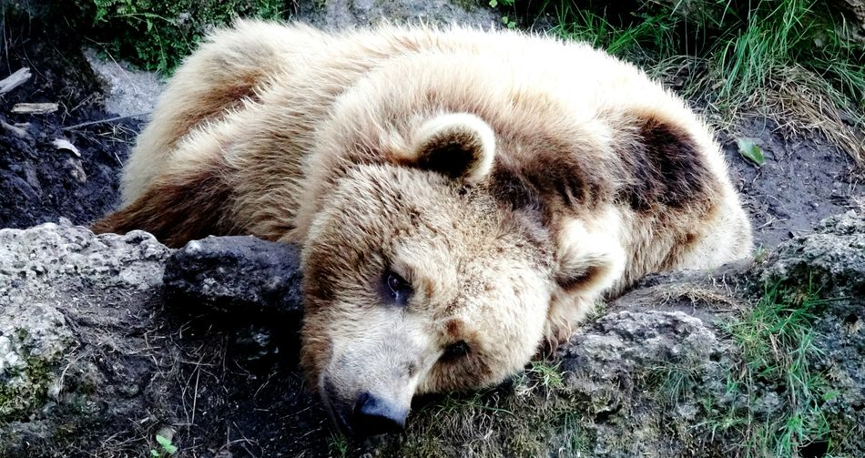 Animal Themes One Animal Day Outdoors No People Nature Animals In The Wild Great Outdoors Bear Animal Body Part Sleeping Time Lazy Zoo Animals  ZOO-PHOTO Loveanimals Bigbrownie Laydown Sleepy Teddybear Knuddeling