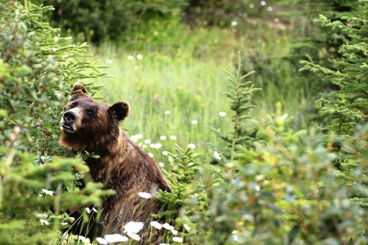 Looks cuddly like Winnie EyeEm Selects EyeEm Nature Lover Animal Wildlife Animal Mammal Nature Bear No People Grass Tree Day Outdoors Banff National Park  Beauty In Nature EyeEm Best Shots EyeEmNewHere 67mm Filter Alberta