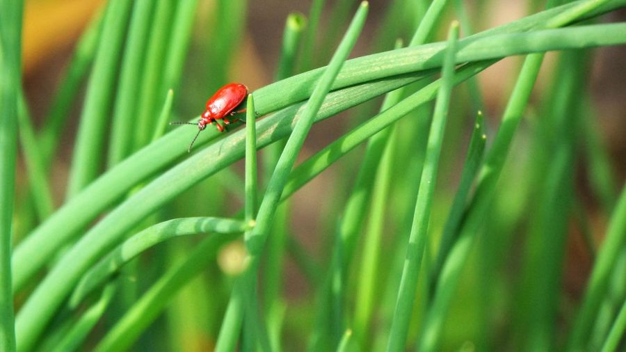 Animal Wildlife Invertebrate Animals In The Wild Insect Animal Themes Animal Green Color One Animal Plant Beetle Close-up Ladybug Growth No People Plant Part Nature Selective Focus Leaf Grass Blade Of Grass