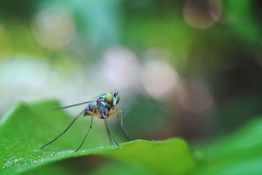 Close-up Macro Insect One Animal Nature Focus On Foreground Animal Themes No People Beauty In Nature Green Longleggedfly