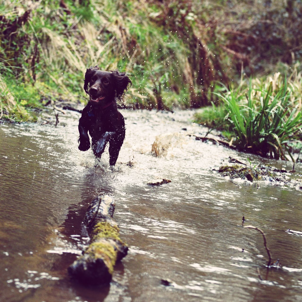 dog, pets, wet, water, running, day, domestic animals, animal themes, one animal, outdoors, motion, mammal, playing, full length, nature, childhood, no people