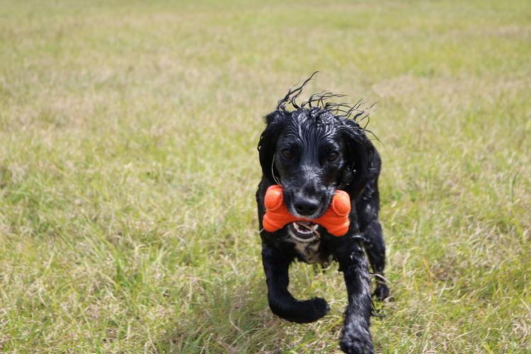 English cocker spaniel playing on field