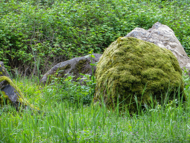 Mossy Boulders in Green Grass Grass Mossy Environment Fresh Grassy Green Color Green Grass Lush Foliage Moss-covered Nature No People Outdoors Peaceful Rock - Object Rocks Stone