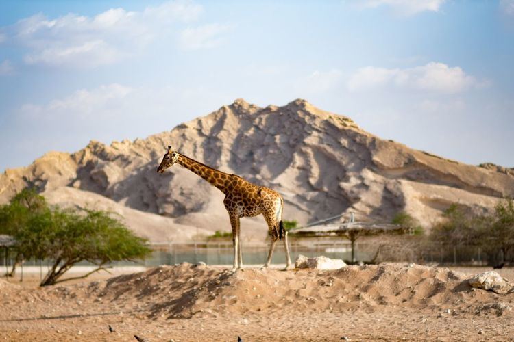 Giraffe standing on footpath against mountains