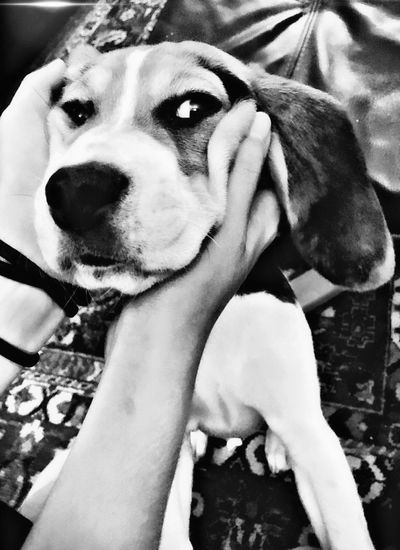 Animal Themes Beagle Beagle Love Beaglelife Beaglelove Beaglelovers Beaglemania Beagleoftheday Beaglepuppy Beagles  Beagleselfy Beaglestagram Beagleworld Black Blackandwhite Close-up Dog Dog Love Dogs Dogslife Dog❤ Domestic Animals Human Hand One Animal Pets