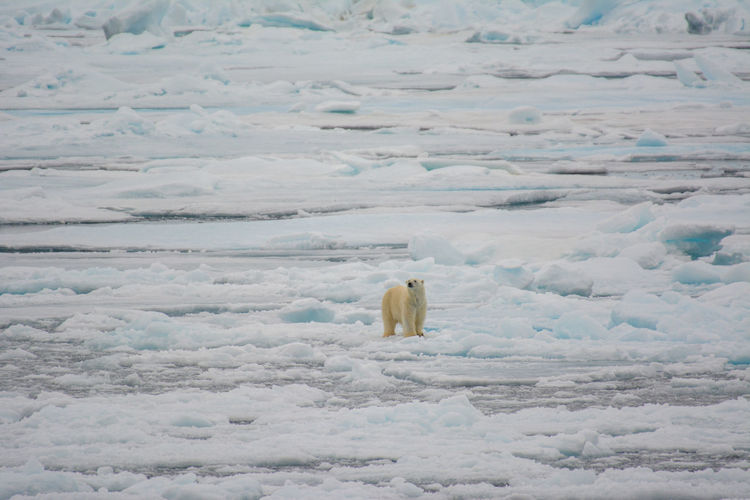 High angle view of polar bear on frozen sea